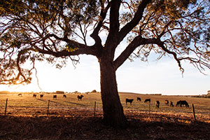 Cattle in the paddock